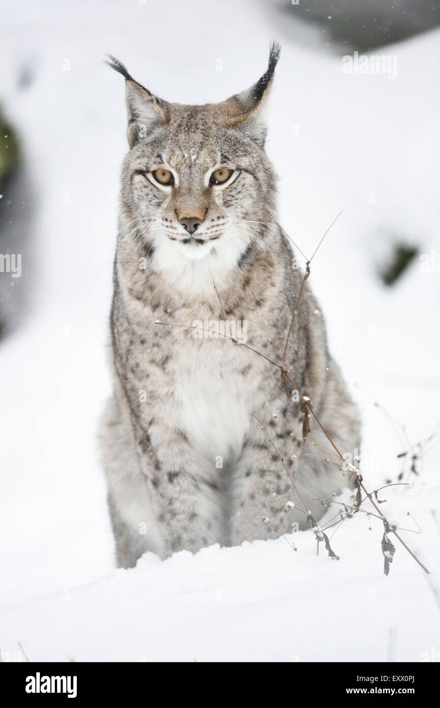 Eurasian lynx in winter - Stock Image