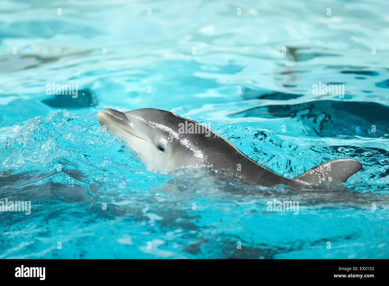 Young common bottlenose dolphin in a zoo - Stock Image