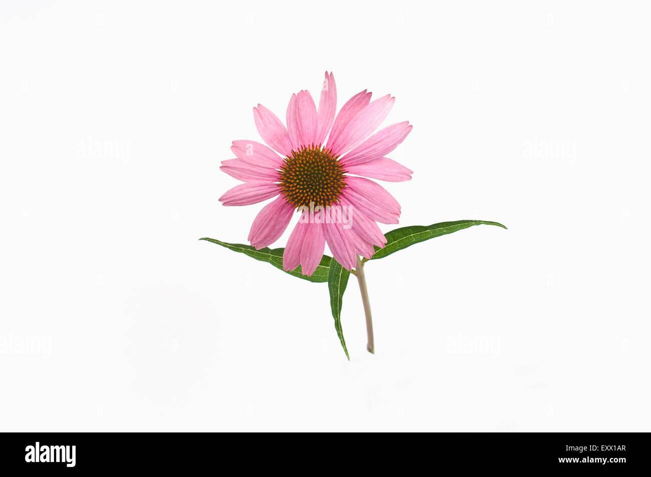 Coneflower - Stock Image