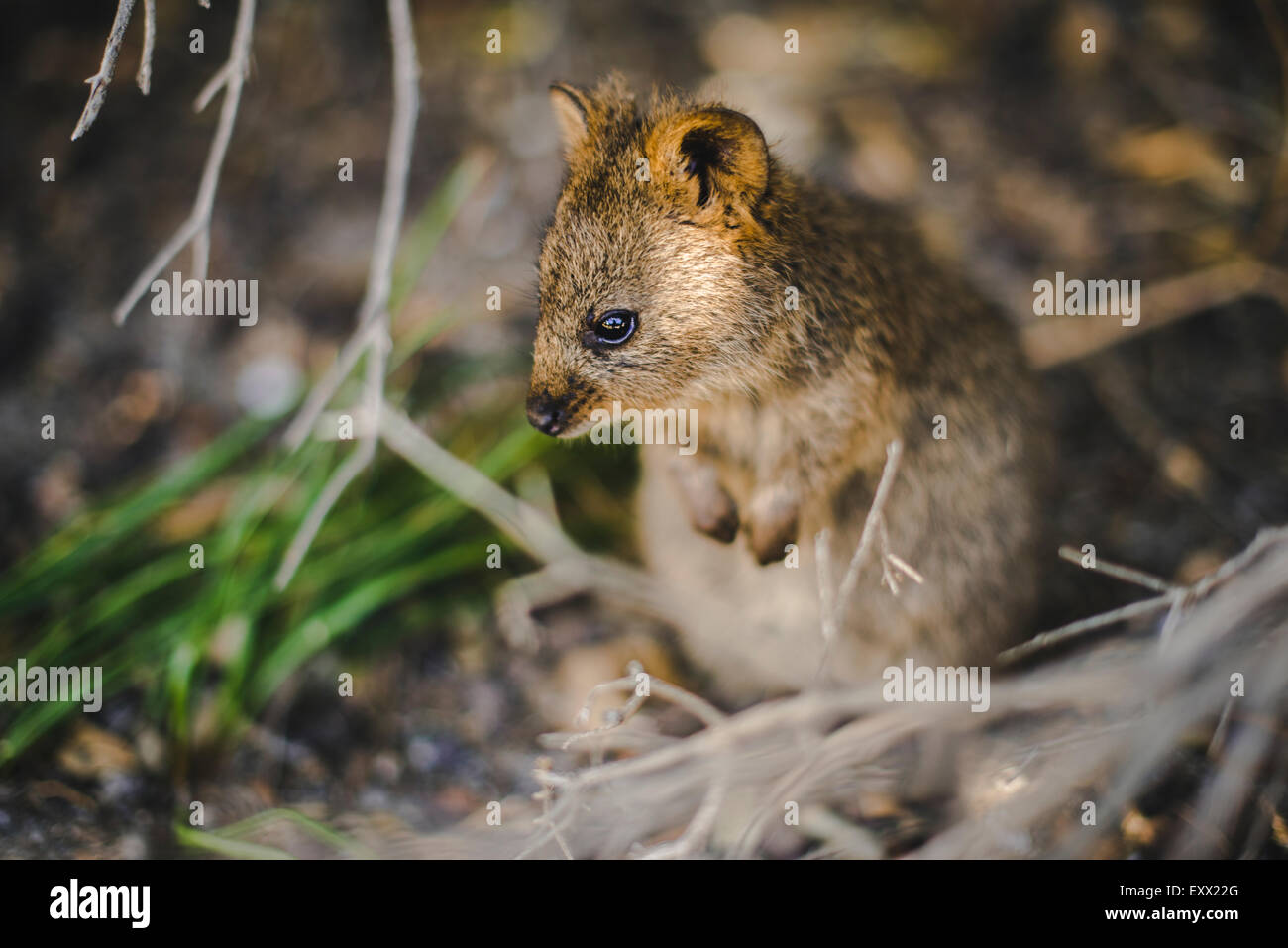 Quokka in bushes, close-up Stock Photo - Alamy