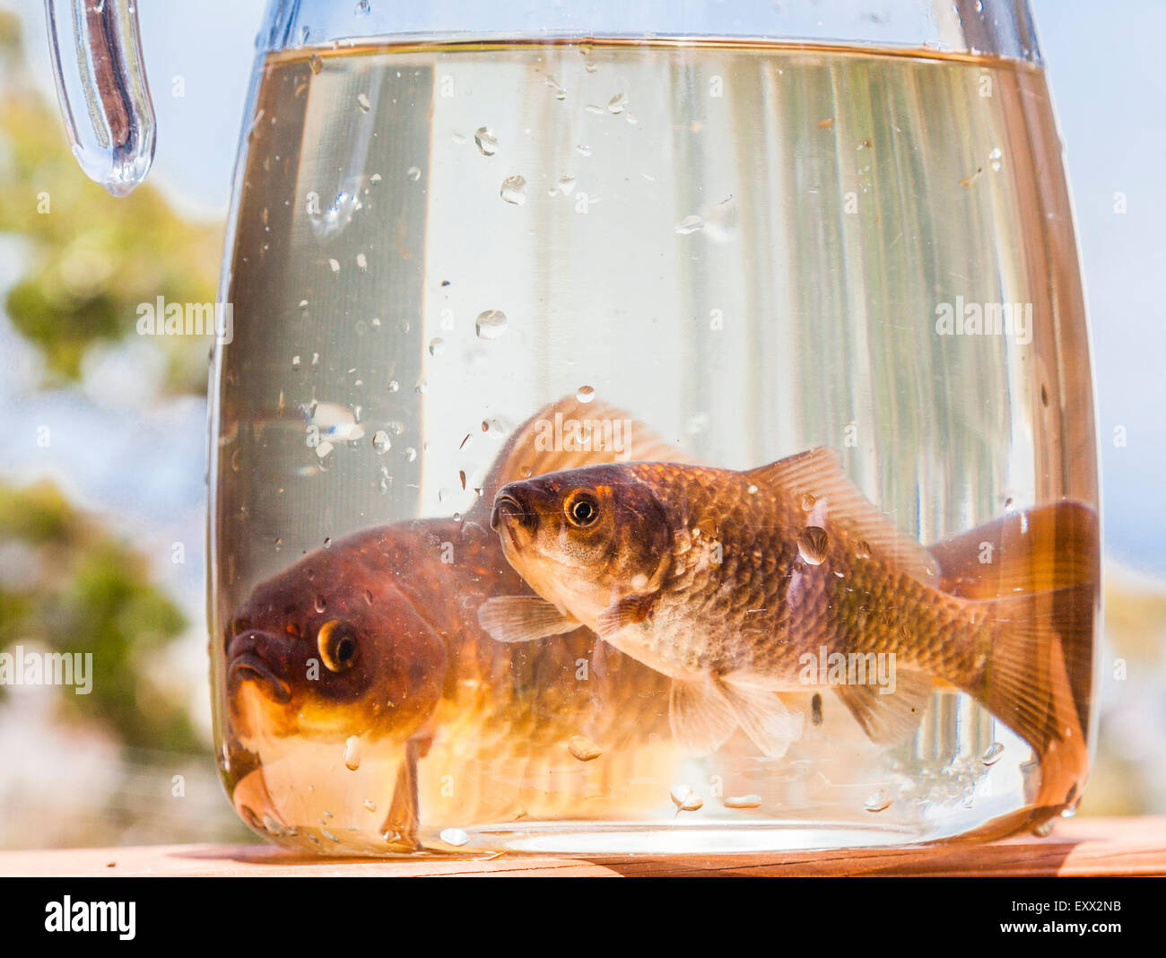 goldfish pair confined in a jar - Stock Image