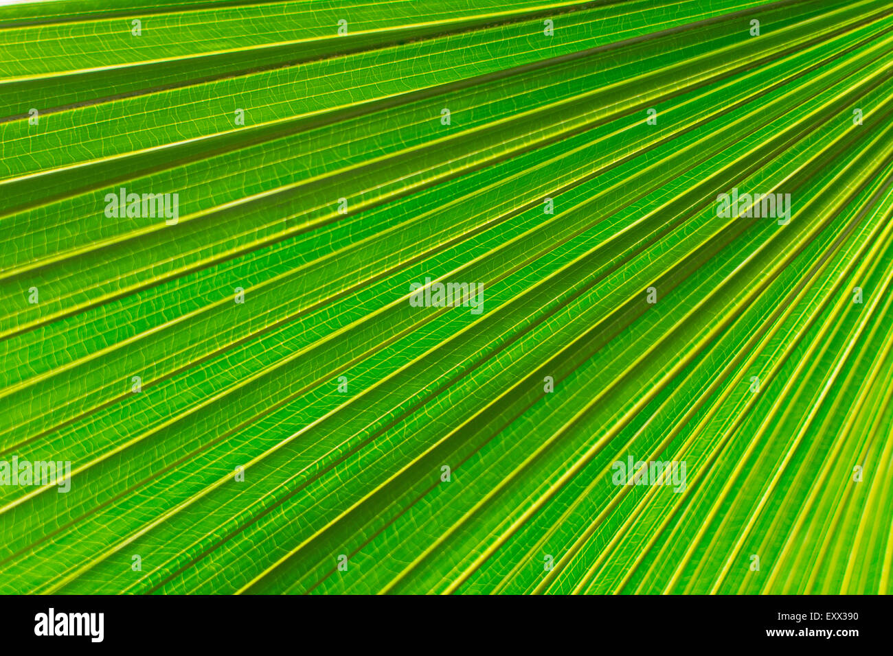 Extreme close up of palm leaf - Stock Image