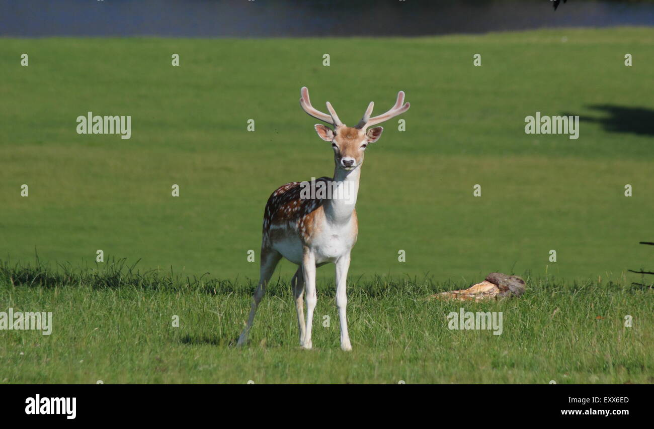 Fallow deer graze  in the park surrounding Chatsworth House (pictured), Peak District Derbyshire England UK - Stock Image