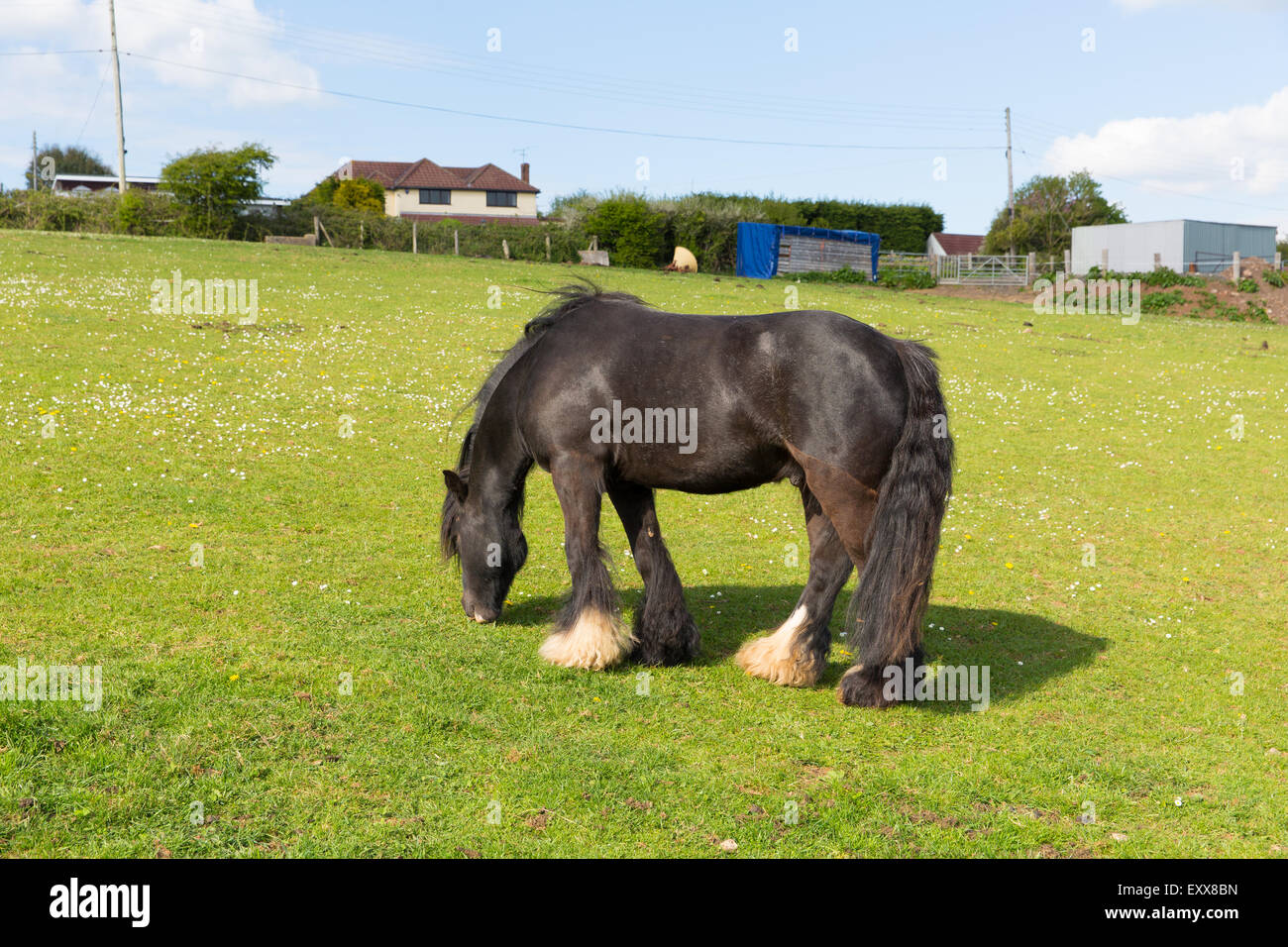 Gypsy traveller pony with long tail and hairy feet - Stock Image