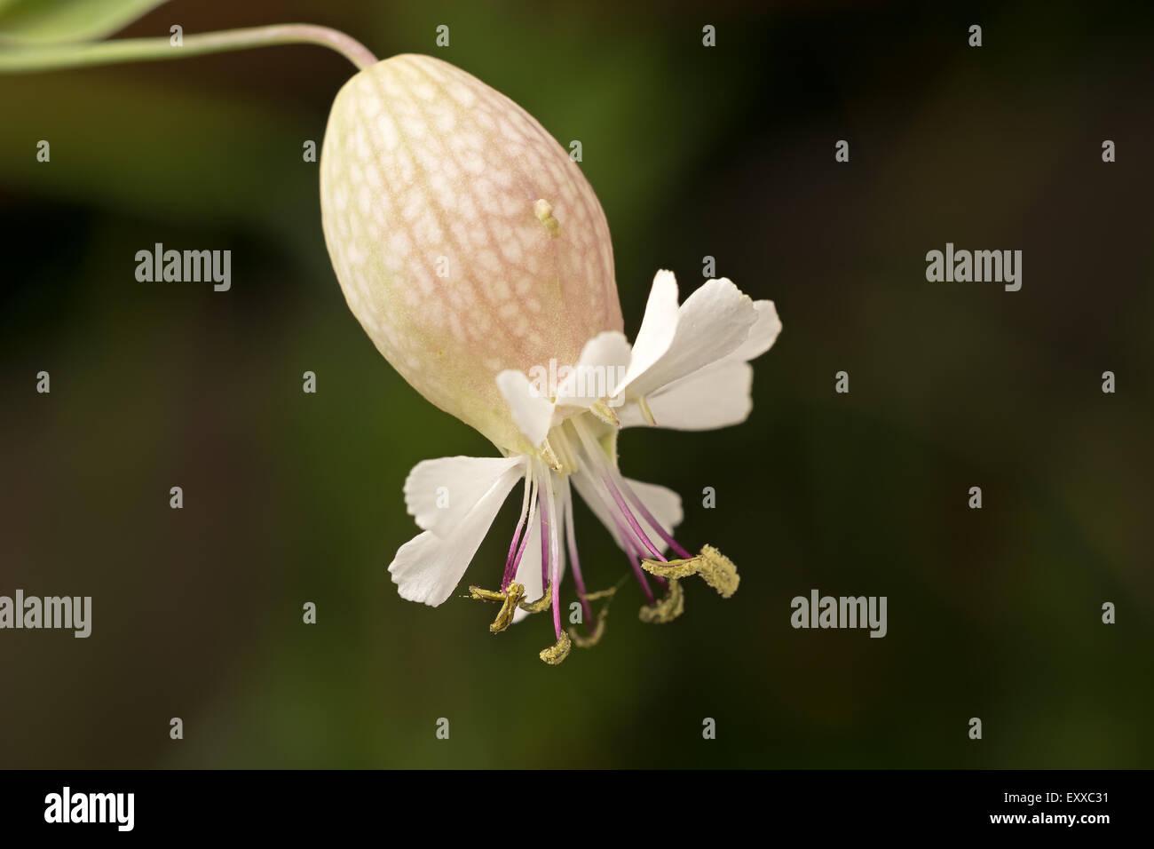 Wild white flower close-up on dark blurred background. - Stock Image