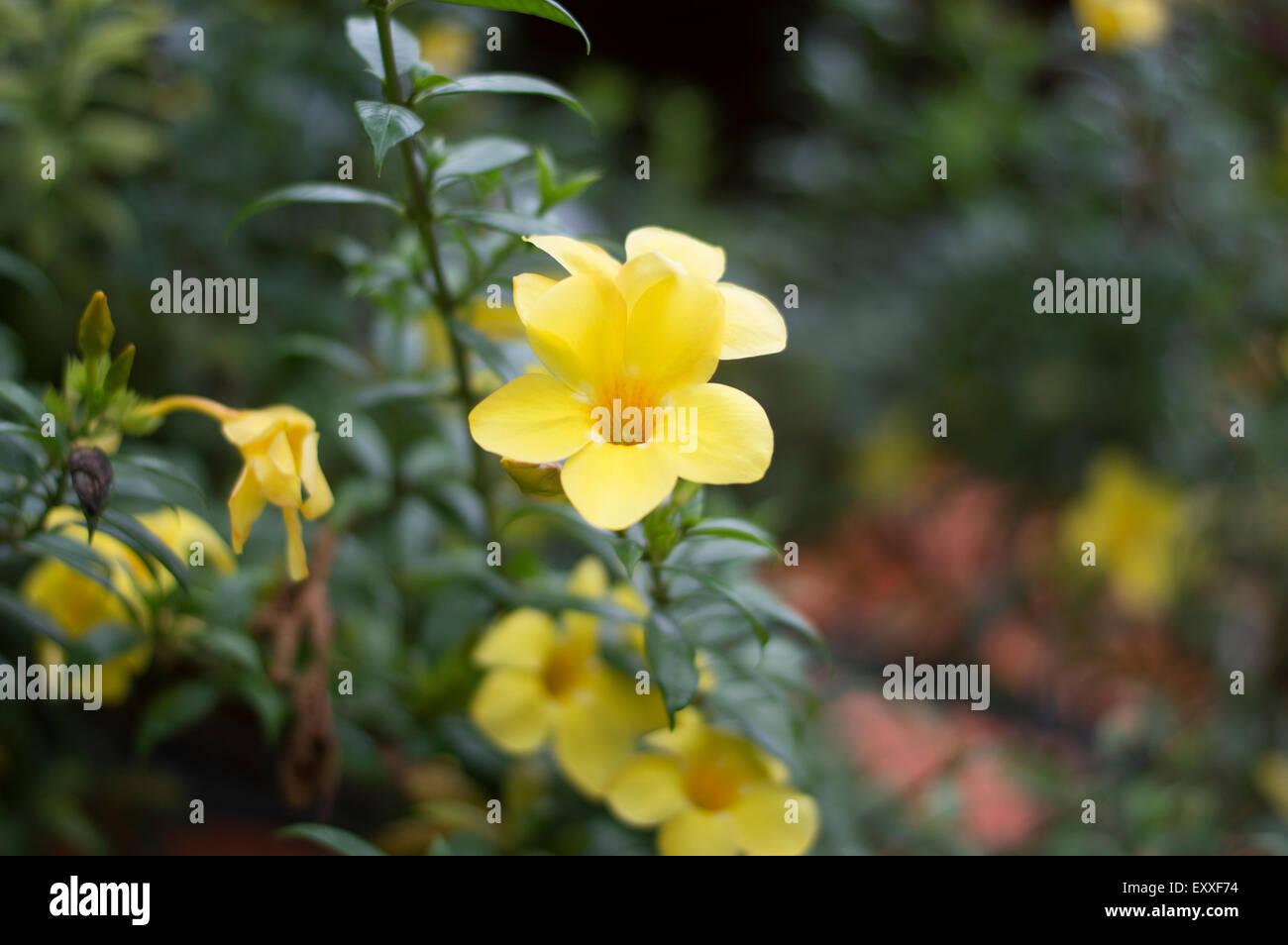 Yellow bell flower stock photos yellow bell flower stock images yellow bell flower stock image mightylinksfo