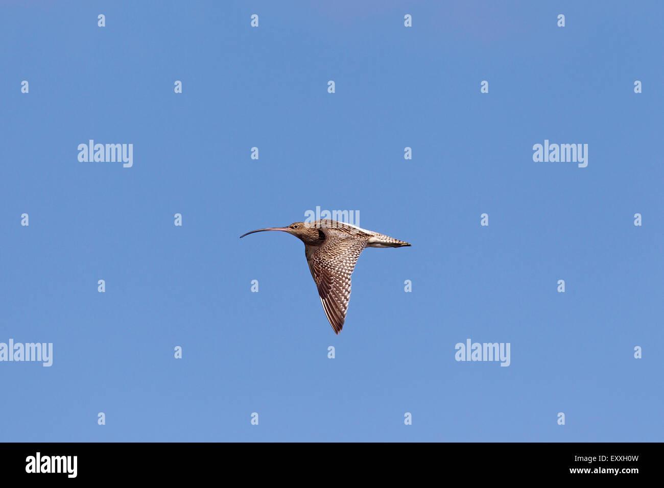 Eurasian curlew (Numenius arquata) in flight against blue sky Stock Photo