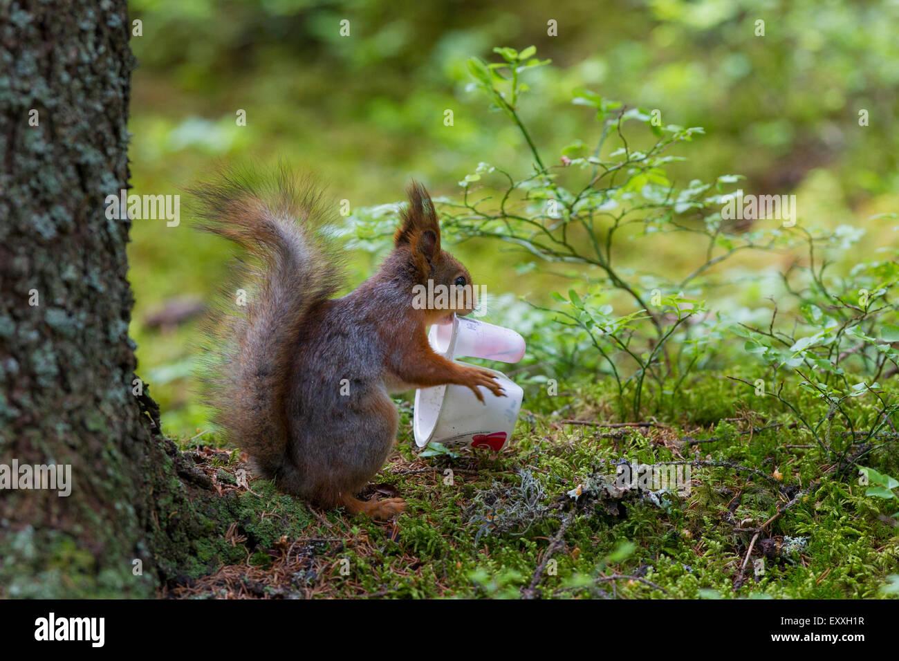 Eurasian red squirrel (Sciurus vulgaris) feeding on discarded plastic yoghurt cup - Stock Image