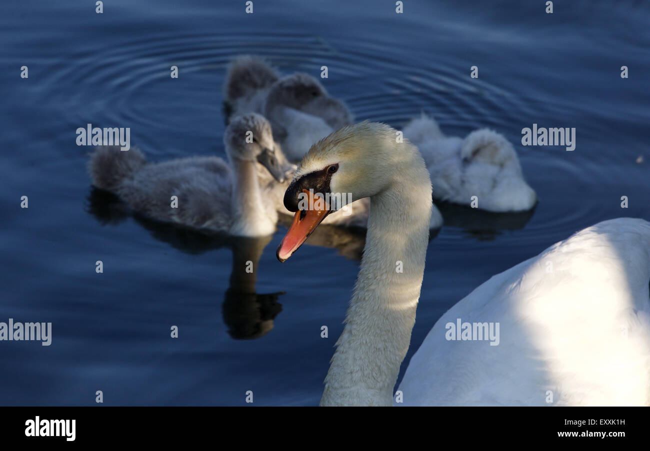 Beautiful family of the mute swans before the sunset - Stock Image