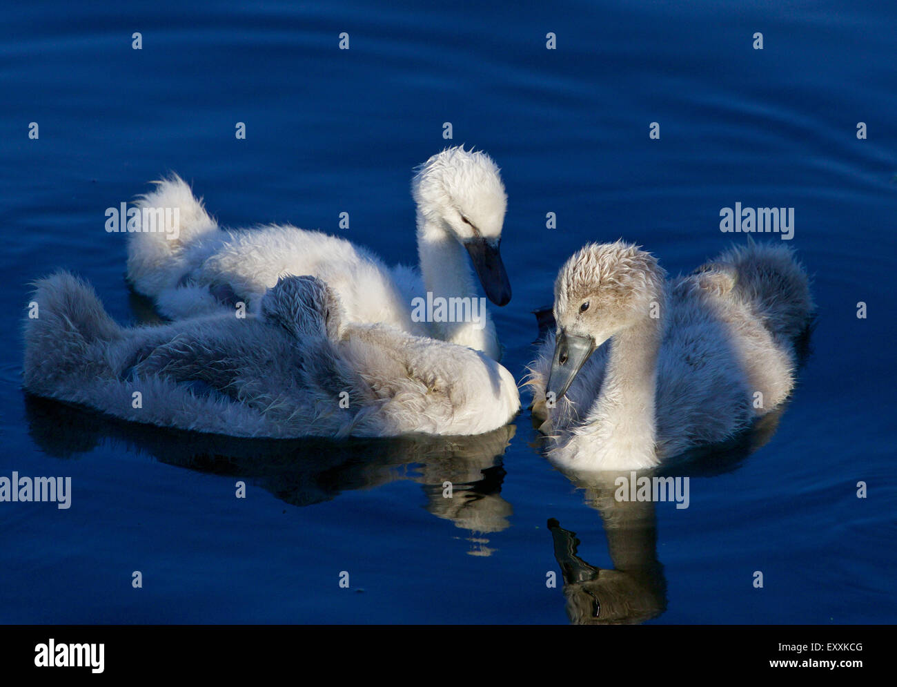 Beautiful close-up of the three young mute swans before the sunset - Stock Image
