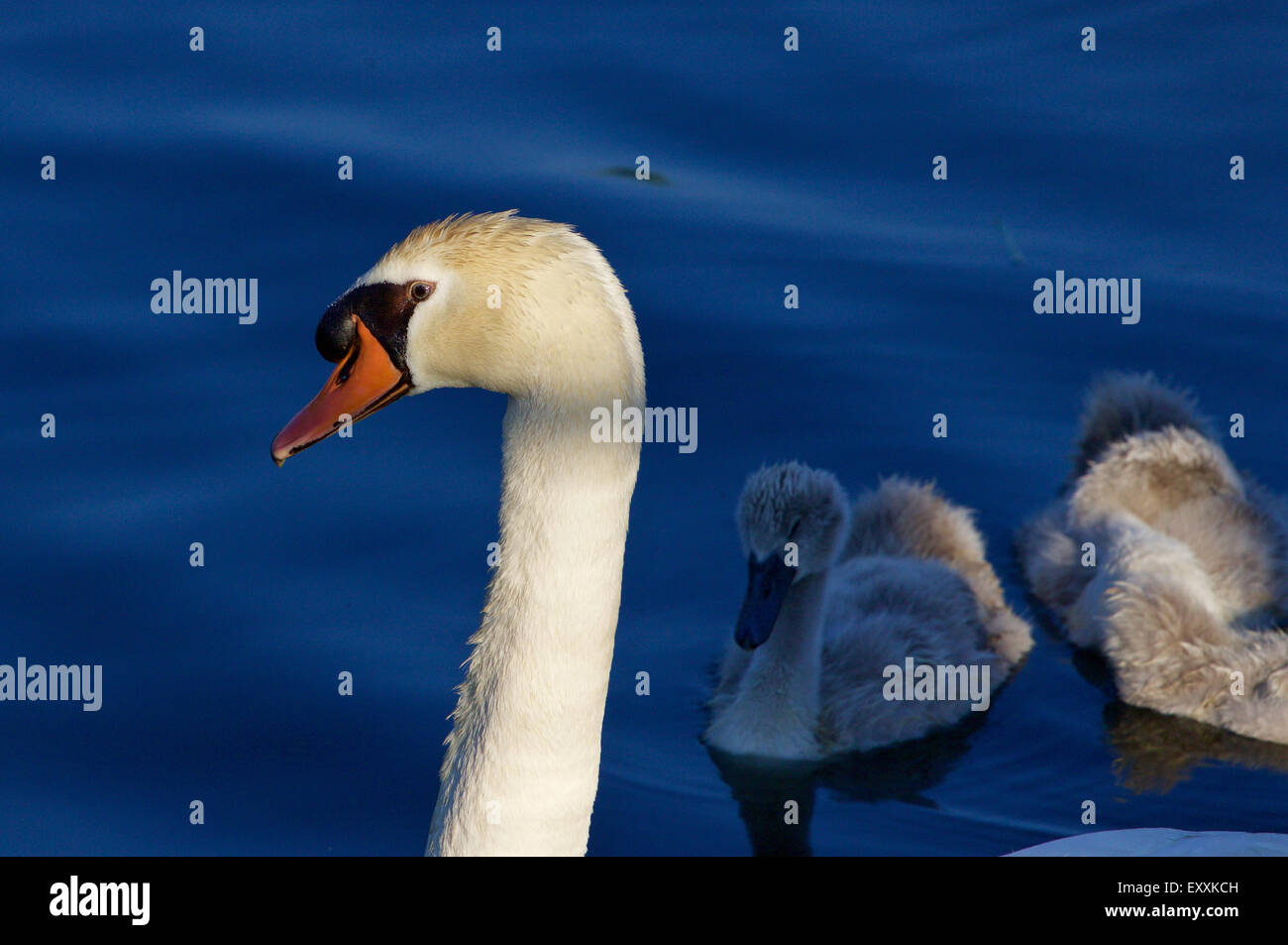 Beautiful background with the father-swan and his children swimming in the lake on the sunny evening - Stock Image