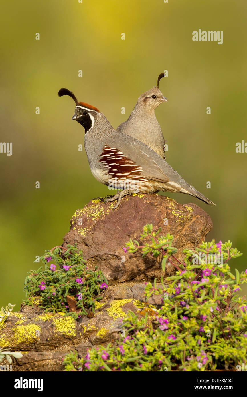 Gambel's Quail  Callipepla gambelii Tucson, Arizona, United States 21 May     Adult Male & Female       Phasianidae Stock Photo