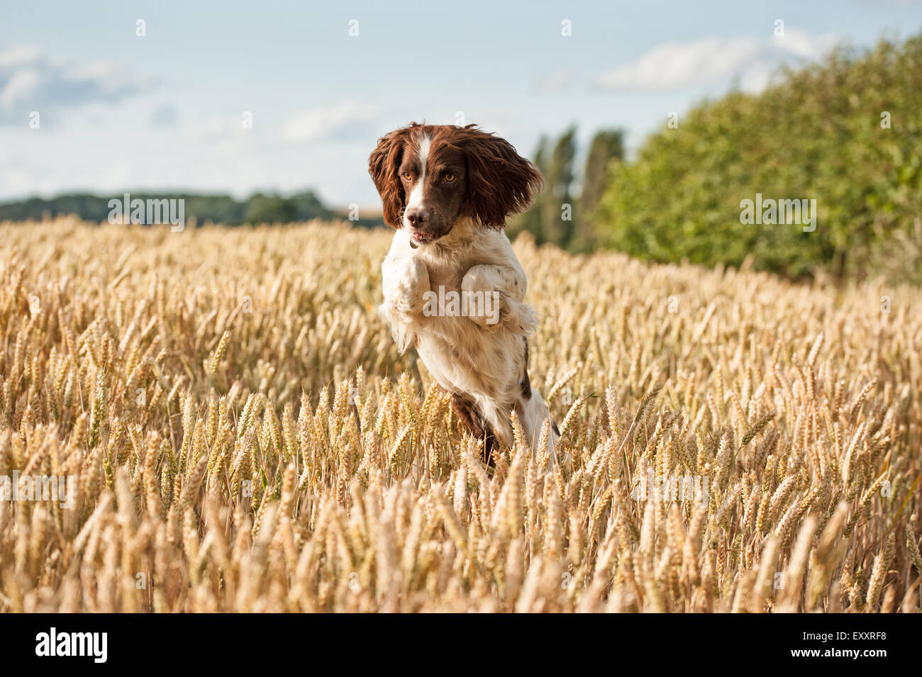 Springer Spaniel Dog in wheat field jumping and leaping having fun - Stock Image