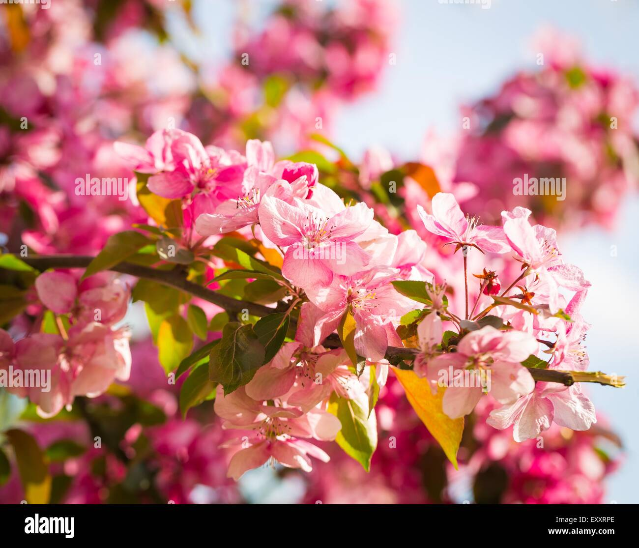 Malus Pumila Natural Lovely Pink Fragrant Spring Flowers Of A