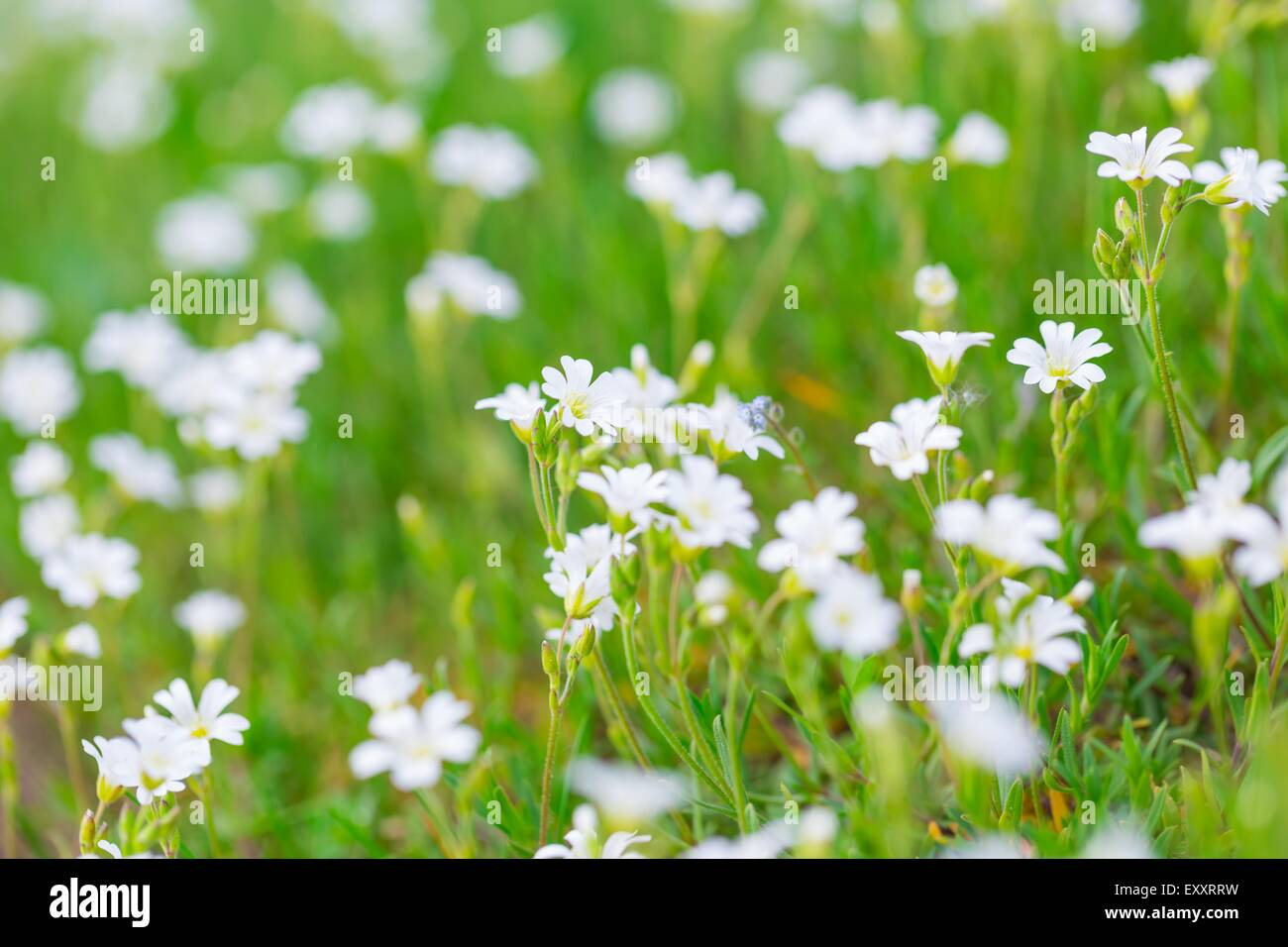 Blooming White Flowers Of Chickweed In Green Grass Nature
