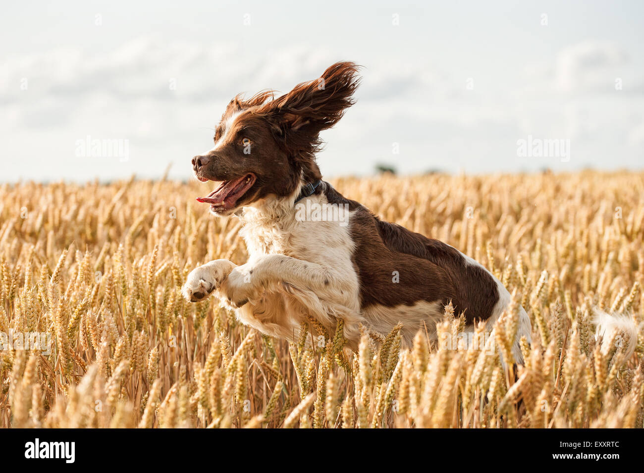 Springer Spaniel Dog in Summer wheat field jumping and leaping having fun - Stock Image