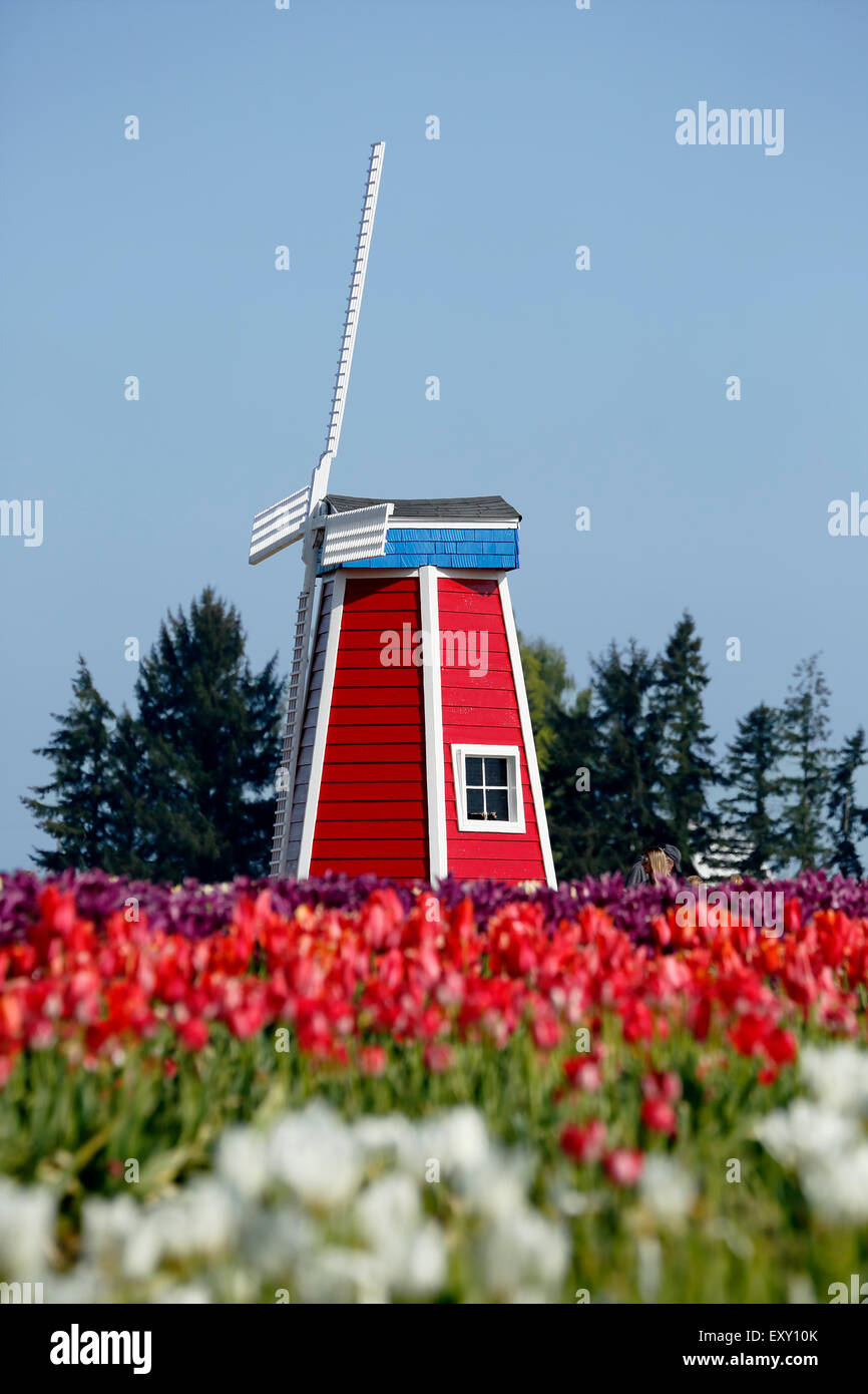 Colorful tulip field and windmill, Tulip Fest, Wooden Shoe Tulip Farm, Woodburn, near Portland, Oregon USA - Stock Image
