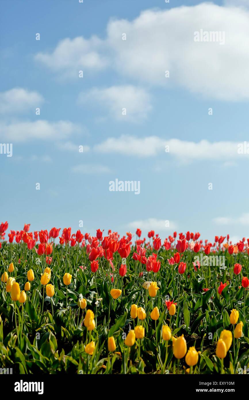 Colorful tulip field, Tulip Fest, Wooden Shoe Tulip Farm, Woodburn, near Portland, Oregon USA - Stock Image
