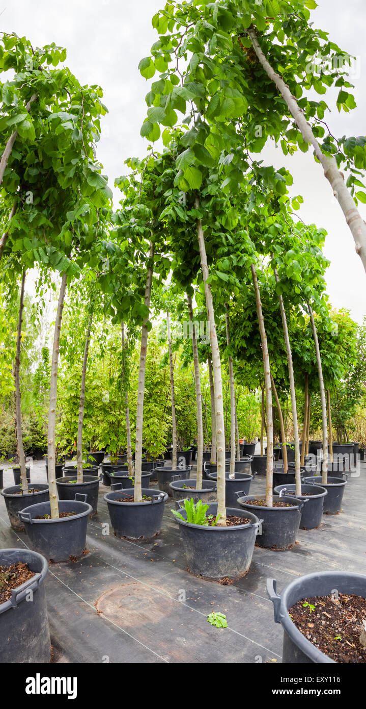 Young nut trees in plastic pots on tree nursery - Stock Image