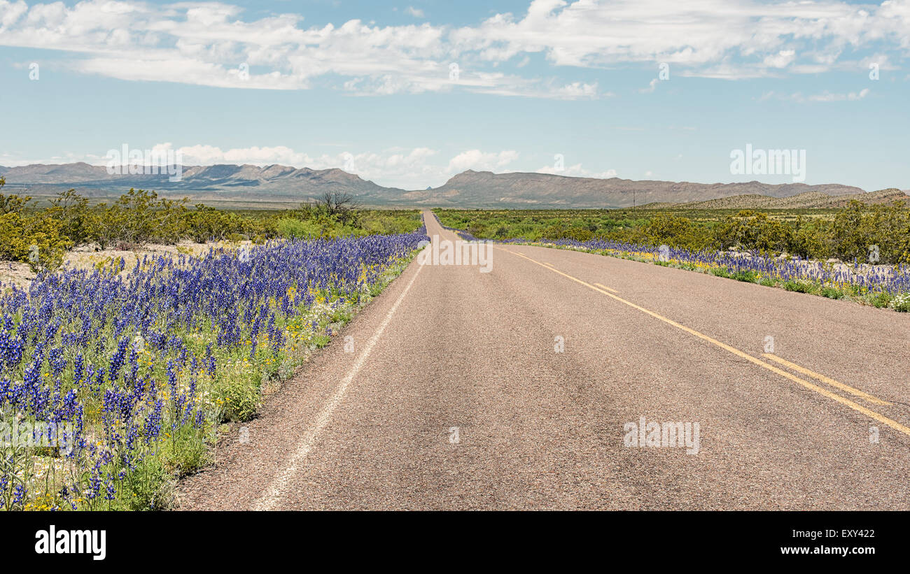 Bluebells along the roadside, Panther Junction-Persimmon Gap area, Big Bend National Park, Texas. - Stock Image