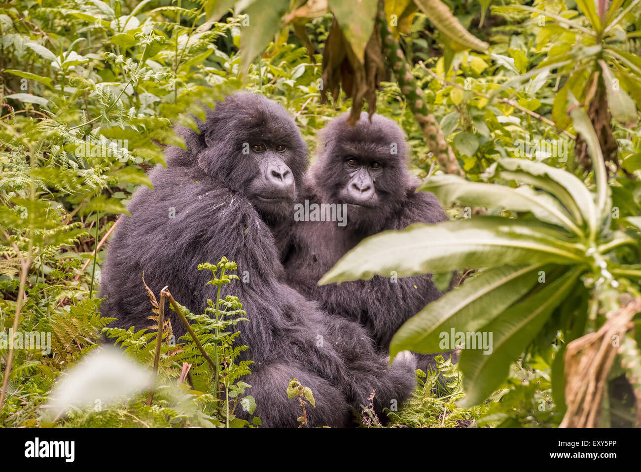 Two gorillas sitting in a clearing in the jungle, Rwanda. - Stock Image