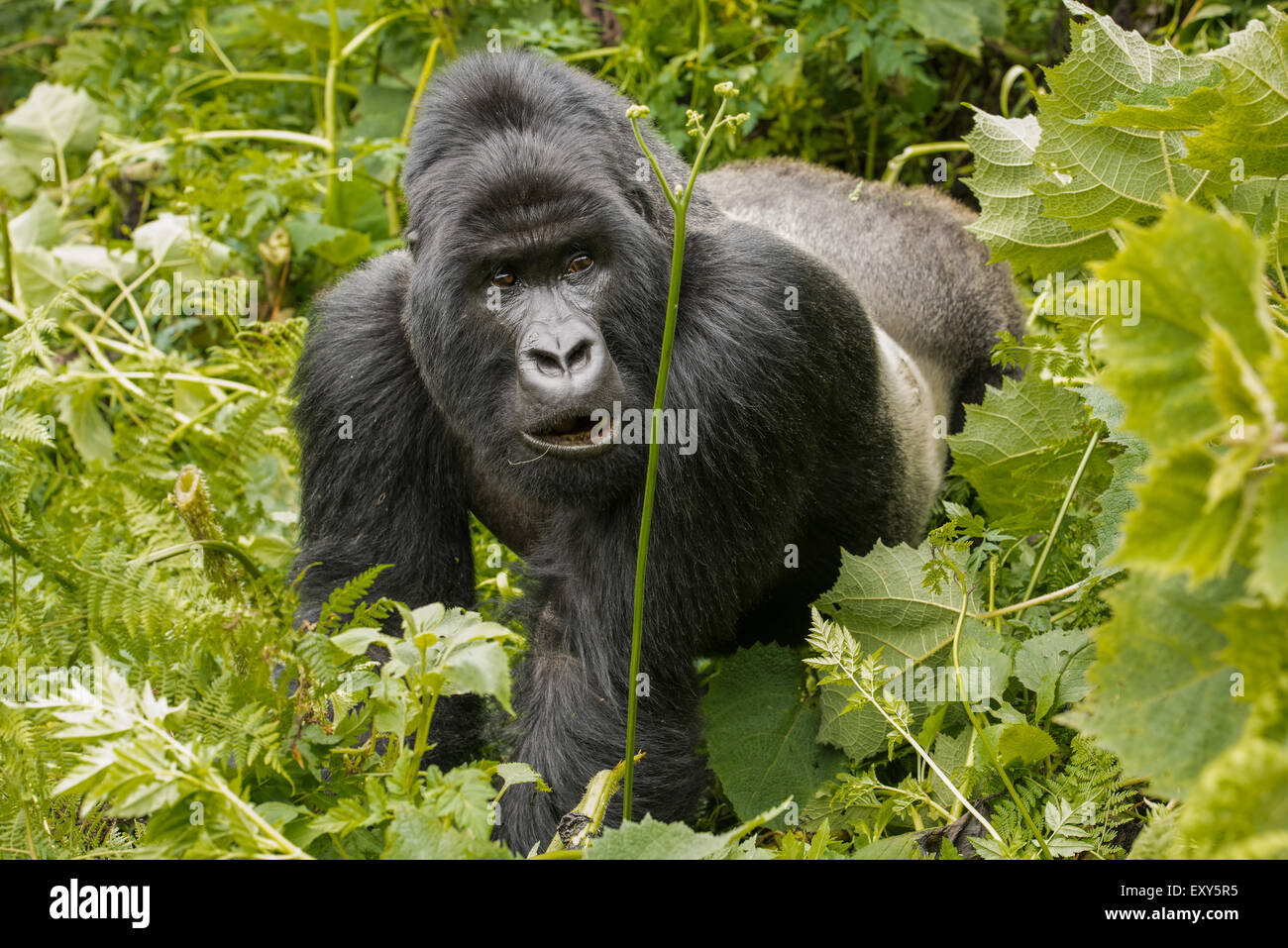 Silverback gorilla in vegetation, Rwanda - Stock Image