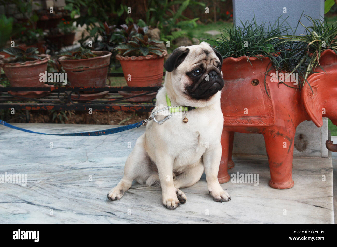 A pug waiting for its owner - Stock Image