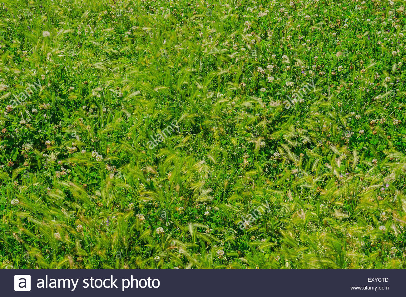 Natural green background with wild flowers, lawn and grass - Stock Image