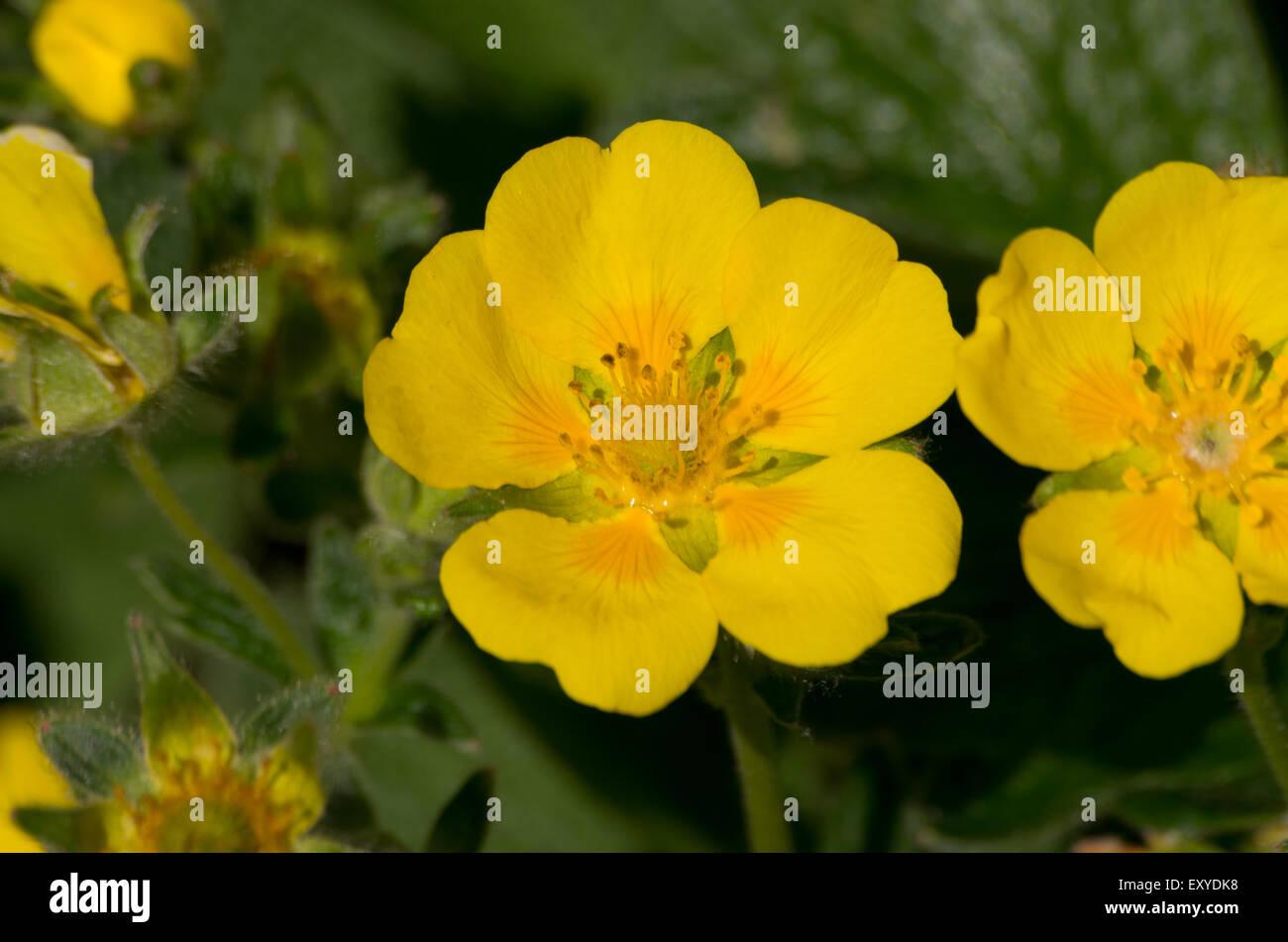 Potentilla megalantha syn fragiformis - Stock Image