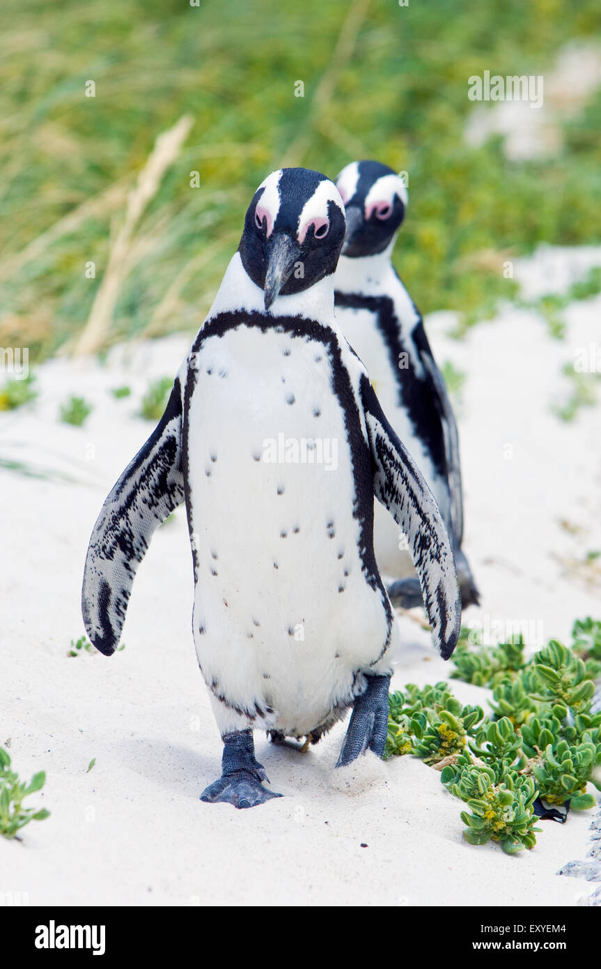 African penguins from the Boulders Beach Penguin Colony, on land in Simon's Town, Cape Town South Africa - Stock Image