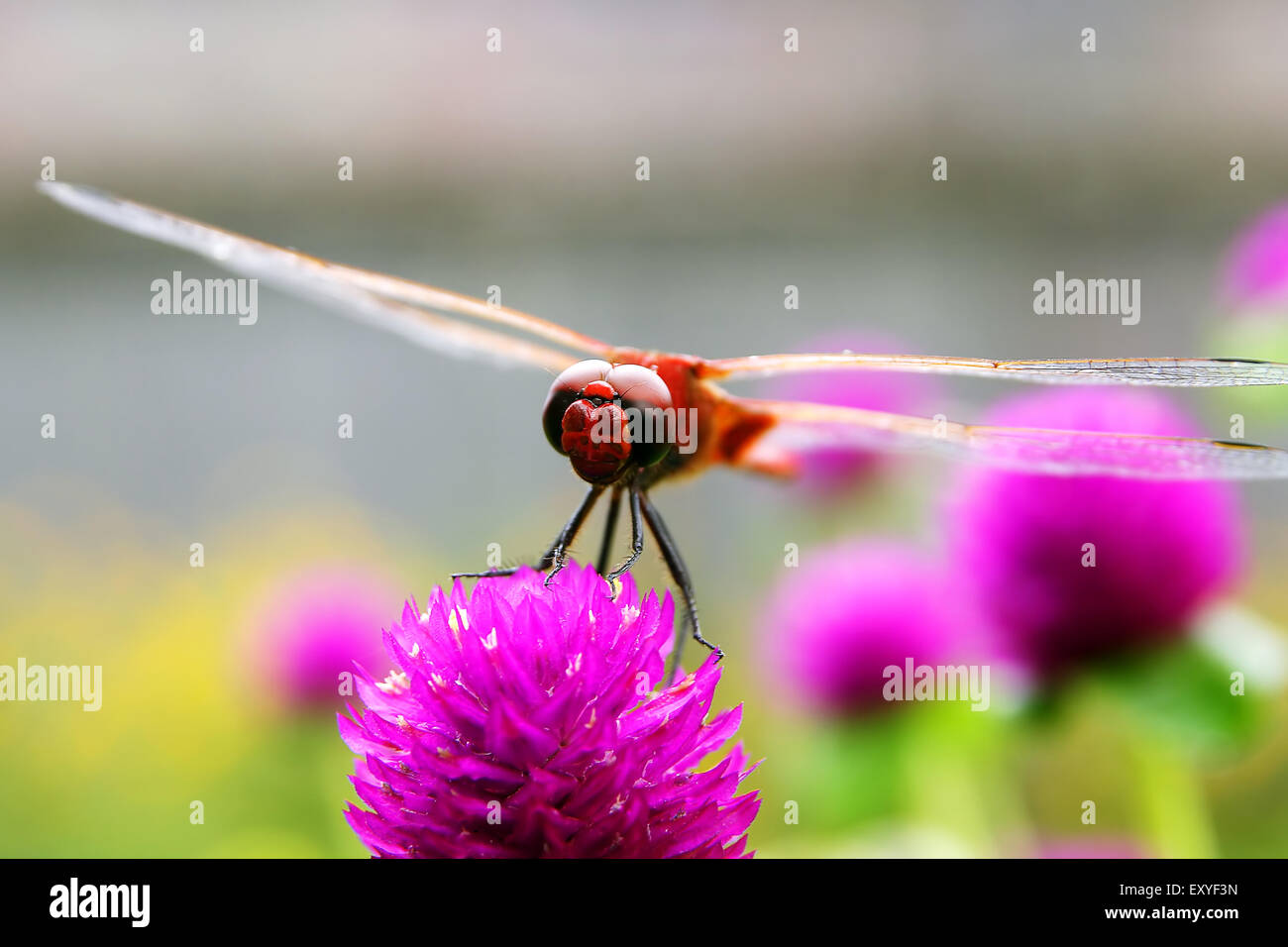 Dragonfly on red flower Stock Photo