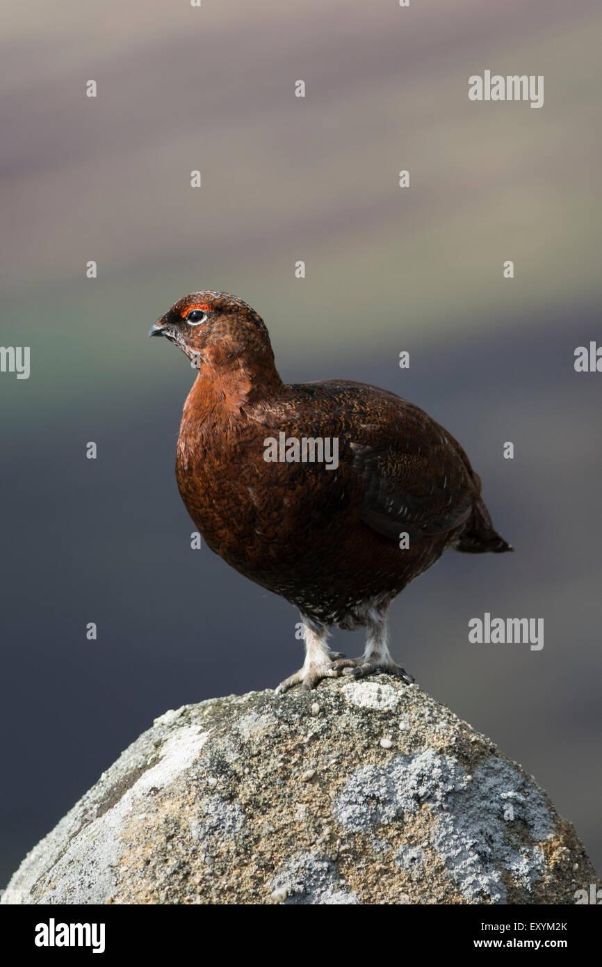 Male red grouse (lagopus lagopus scotica) on rock, United Kingdom. - Stock Image