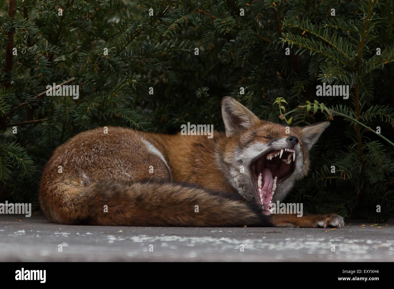 a city fox waking up on top of a garden shed stock photo 85436096