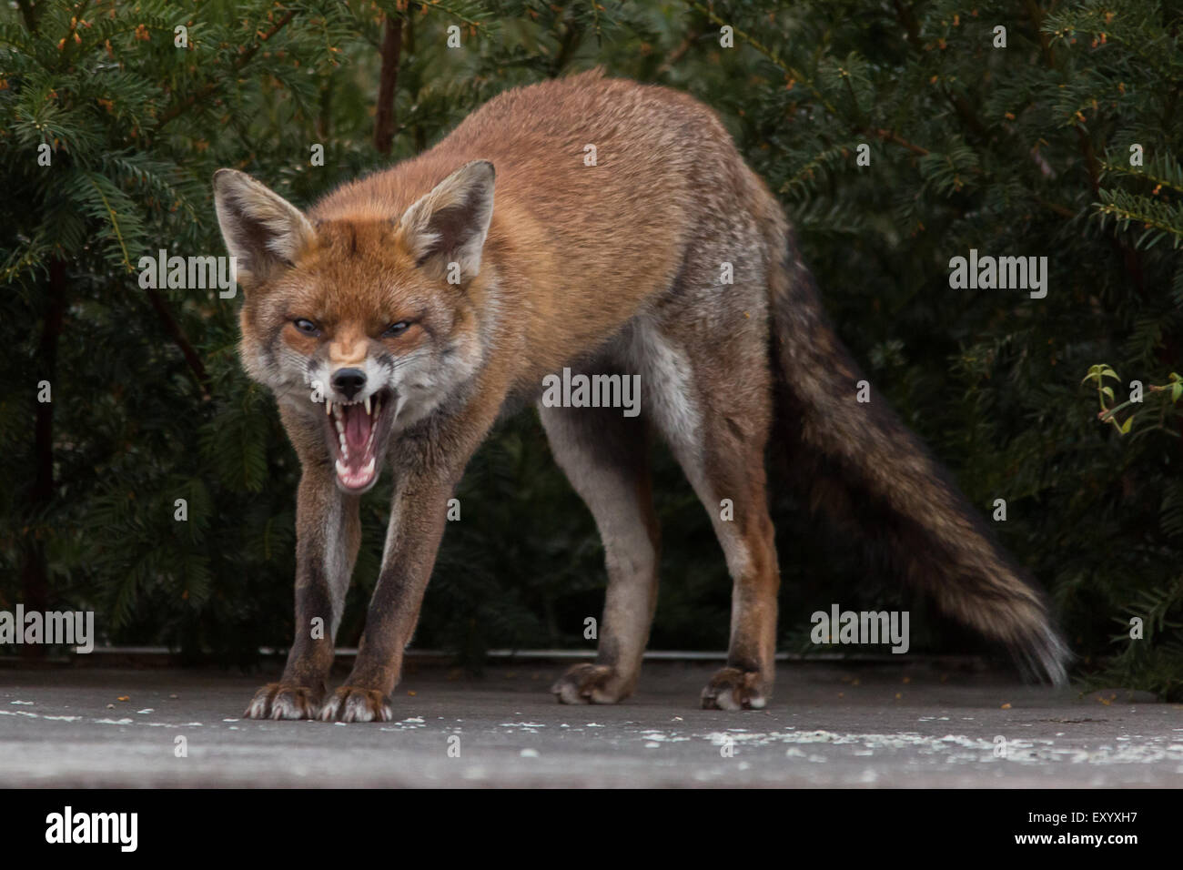 a city fox waking up on top of a garden shed stock photo 85436099