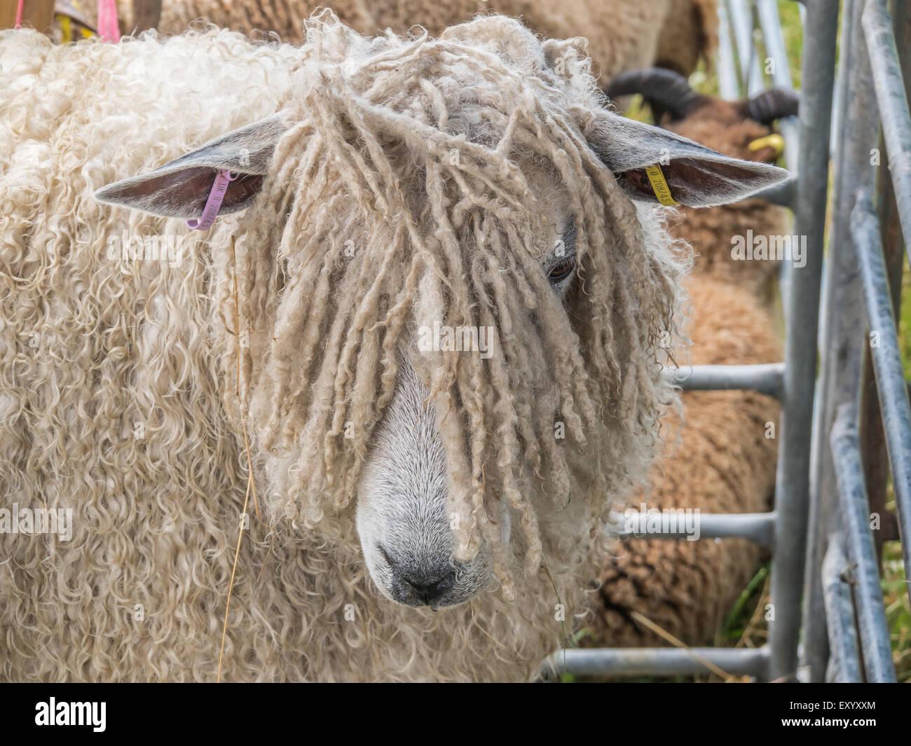 Rare breed sheep - Stock Image