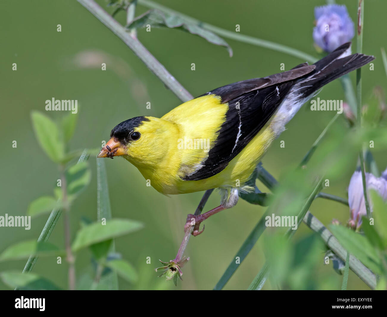 Male American Goldfinch Feeding in the Bushes - Stock Image