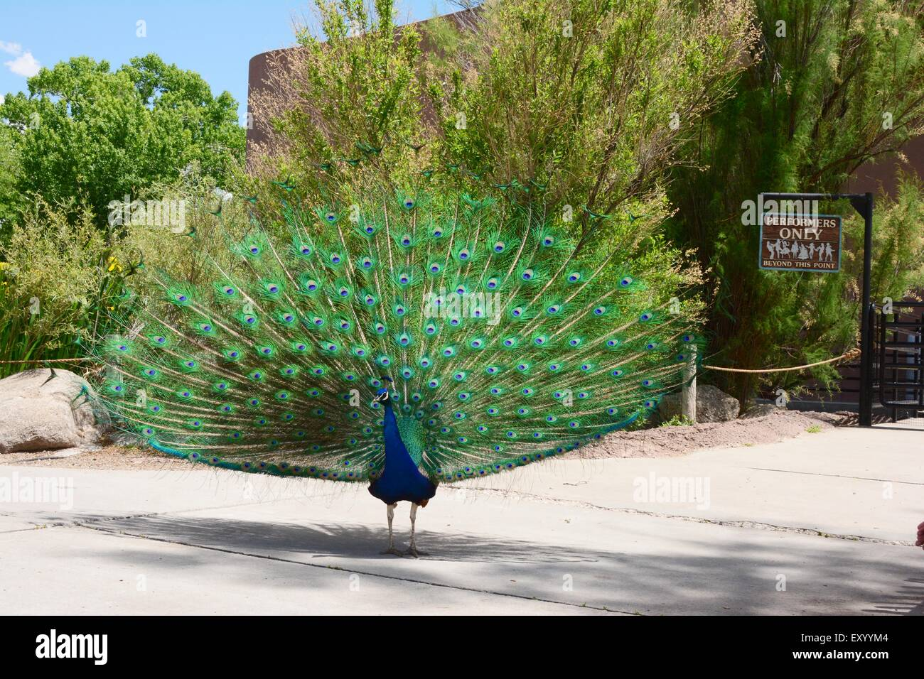 """Peacock Strutting his stuff in front of """"Performers Only"""" sign Albuquerque, New Mexico Zoo - USA Stock Photo"""