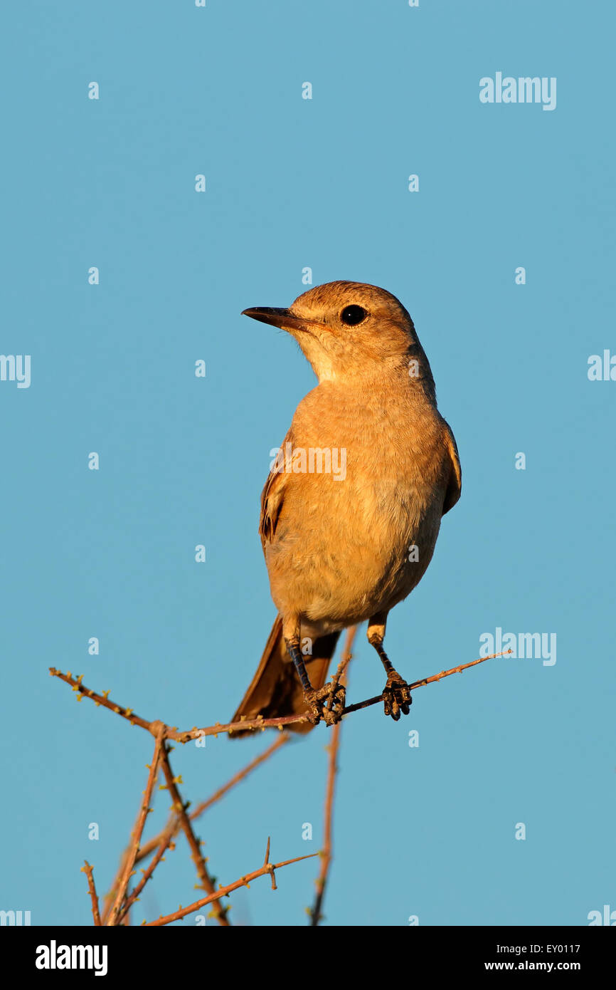 A familiar chat (Cercomela familiaris) sitting on a branch against a blue sky, South Africa - Stock Image