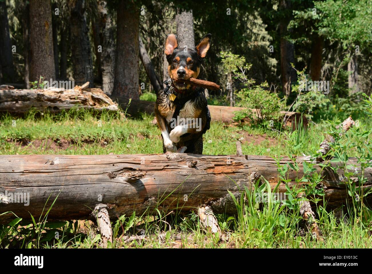 Wilderness play for dog and his stick. leaping huge downed tree New Mexico - USA - Stock Image
