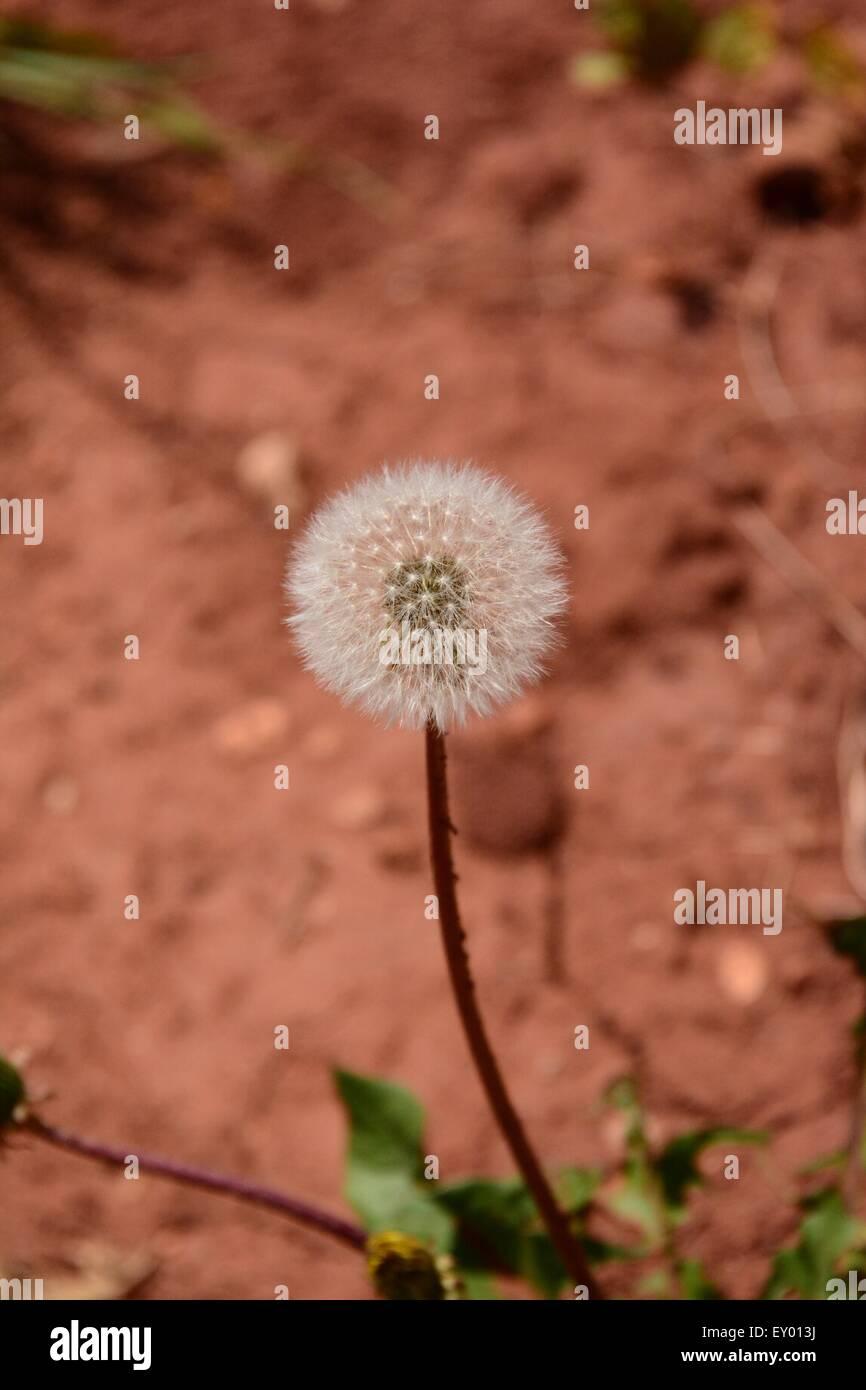 Dandelion Seed Ball - Stock Image