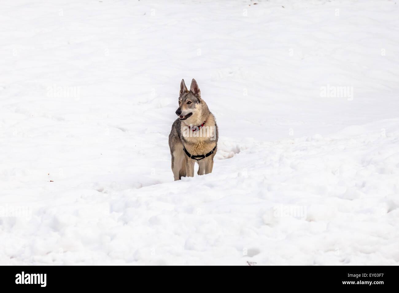 Czechoslovakian wolf dog - Stock Image