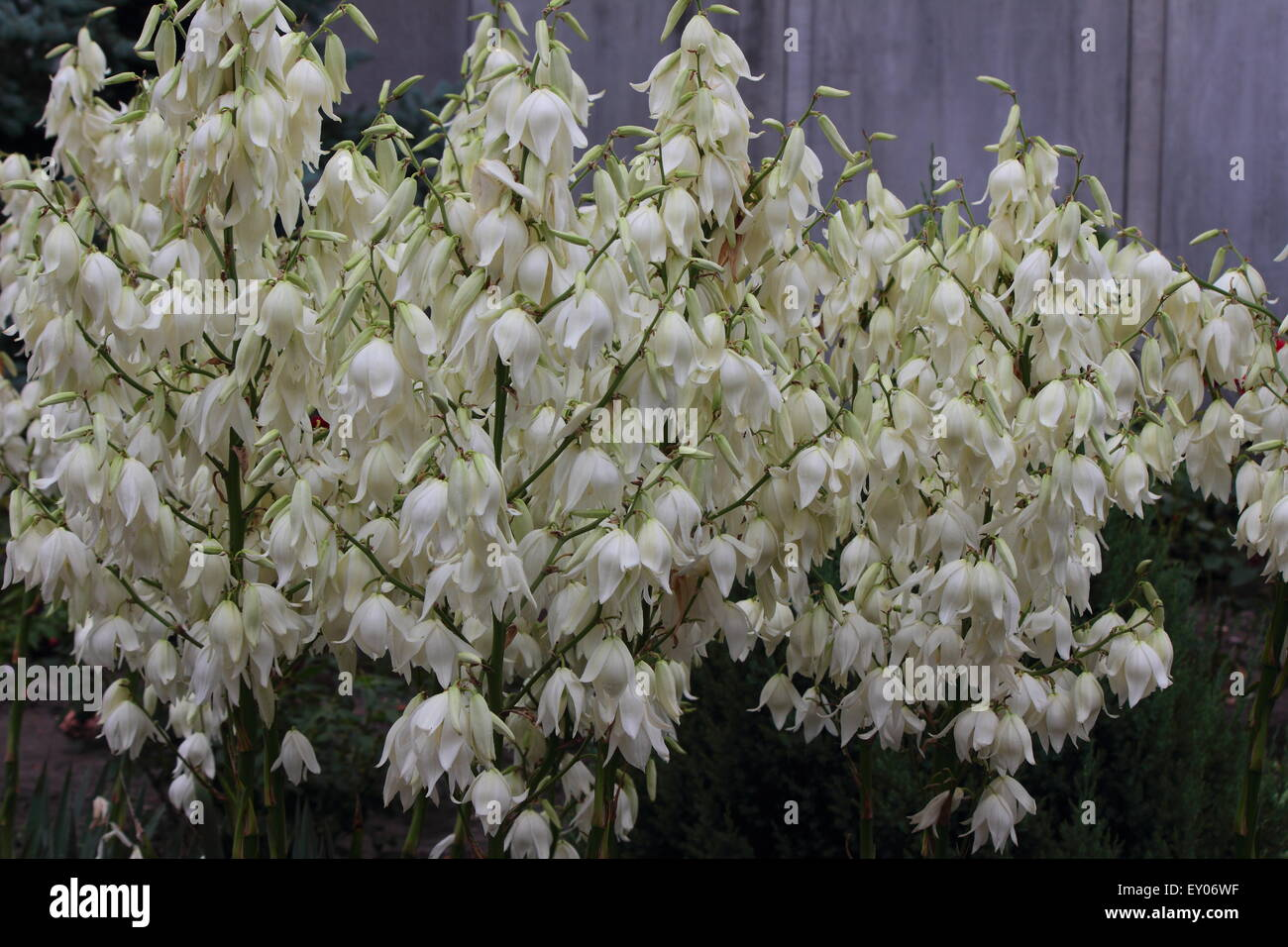 Yucca bloom stock photos yucca bloom stock images alamy grow beautiful white flowers yucca stock image mightylinksfo