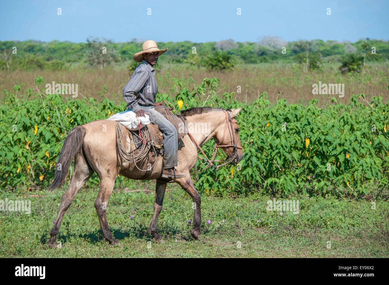 Brazilian Cowboy riding a Pantaneiro horse on a cattle ranch in the Pantanal, Mato Grosso, Brazil, South America - Stock Image