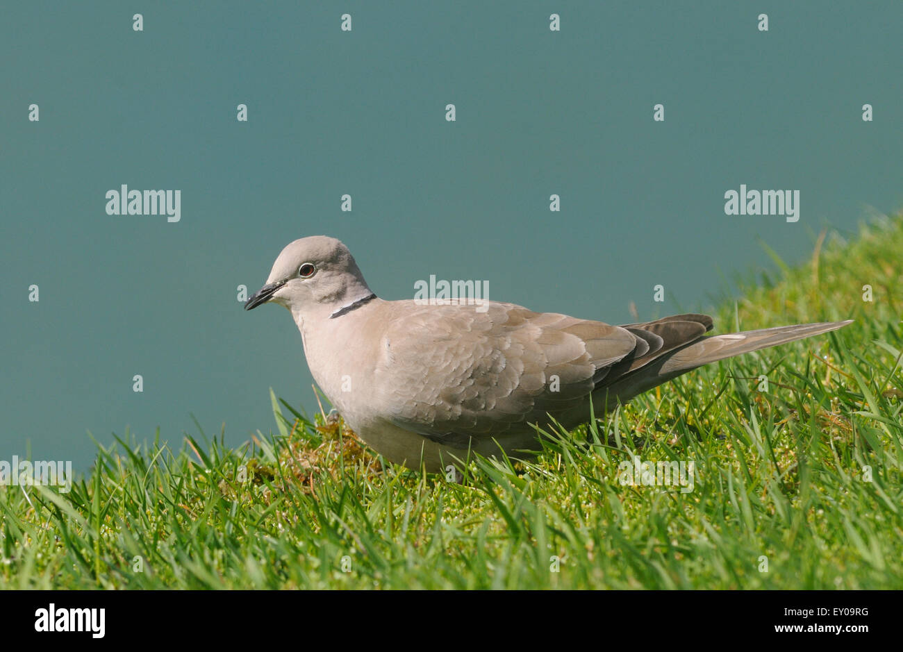 A Collared Dove (Streptopelia decaocto) feeding on grass seeds on Hirta. This bird was probably blown to St Kilda - Stock Image