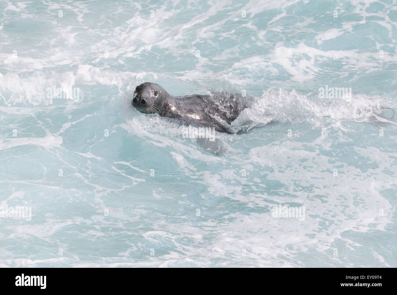 A curious grey seal (Halichoerus grypus) swims in the surf to investigate passers-by. Hirta, St Kilda, Scotland, - Stock Image