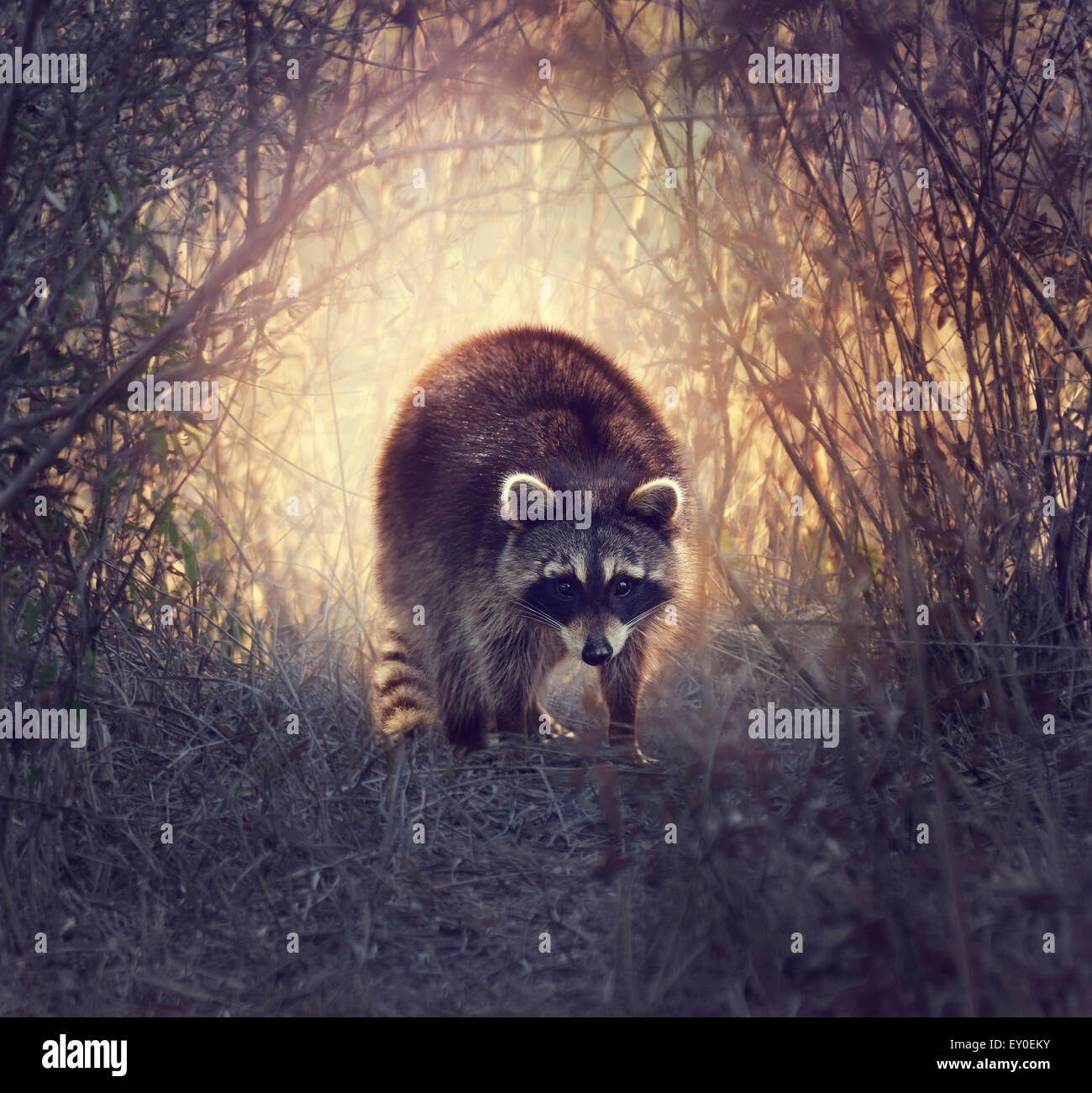 Wild Raccoon In Florida Wetlands At Sunset - Stock Image
