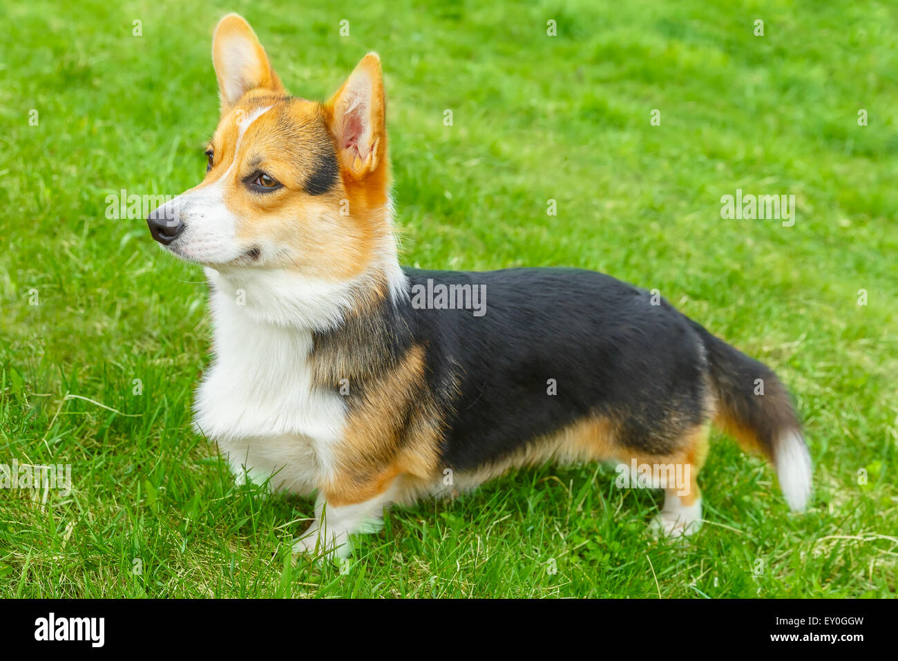 dog Pembroke Welsh corgi smiling - Stock Image