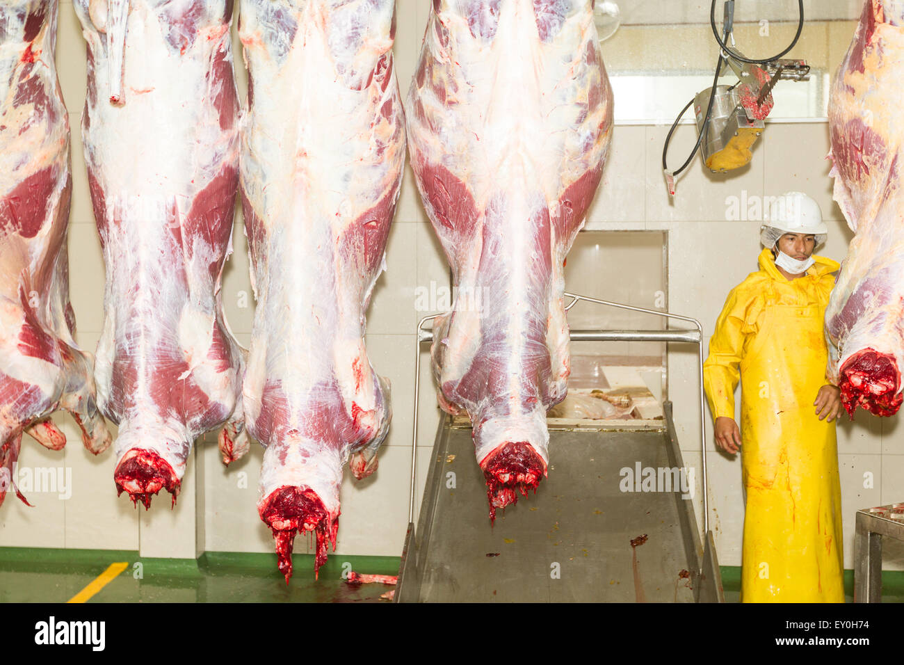Butcher And Cow Carcasses On The Production Line Interior Of Slaughterhouse Stock Photo