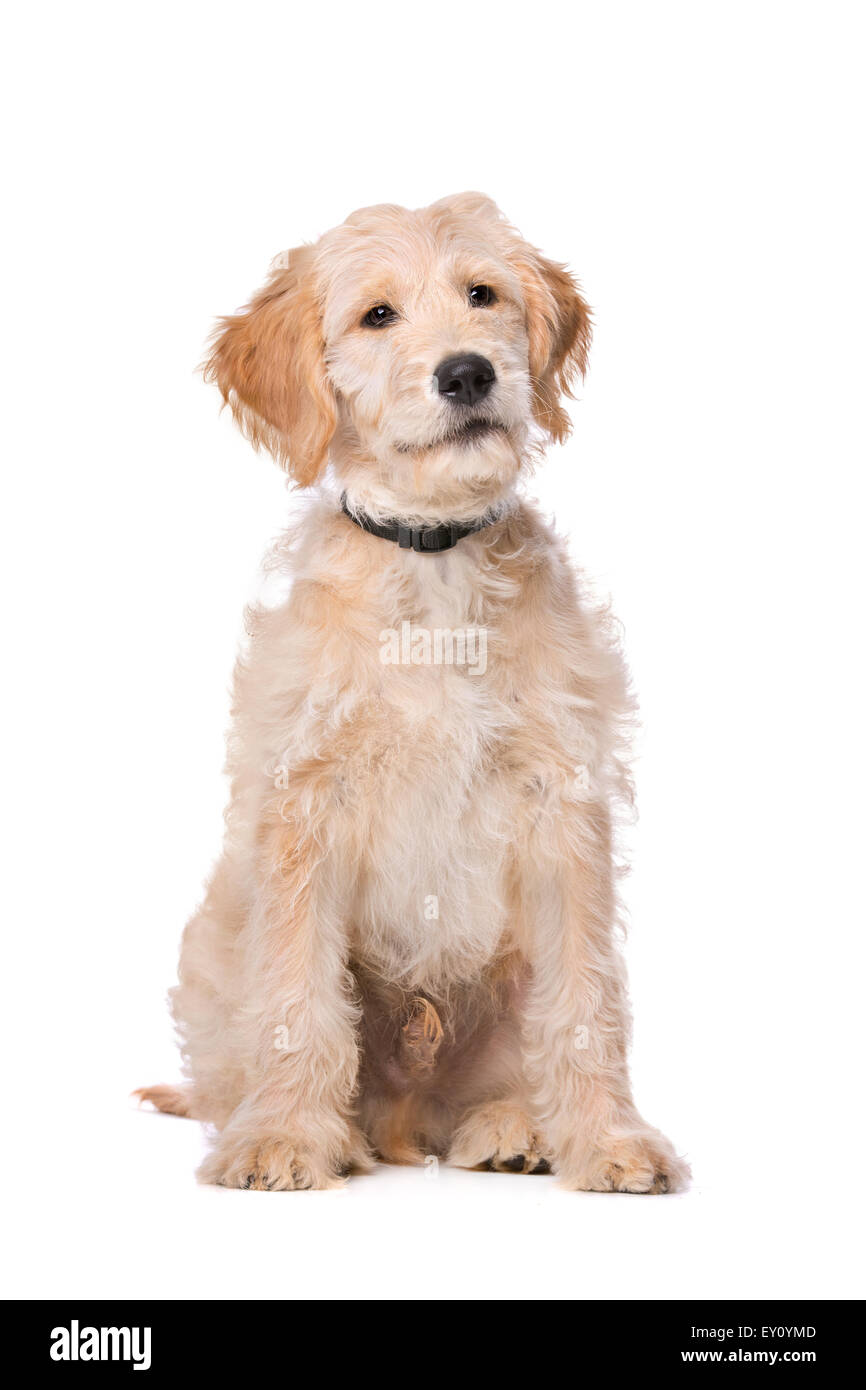 Beige Labradoodle dog in front of a white background - Stock Image