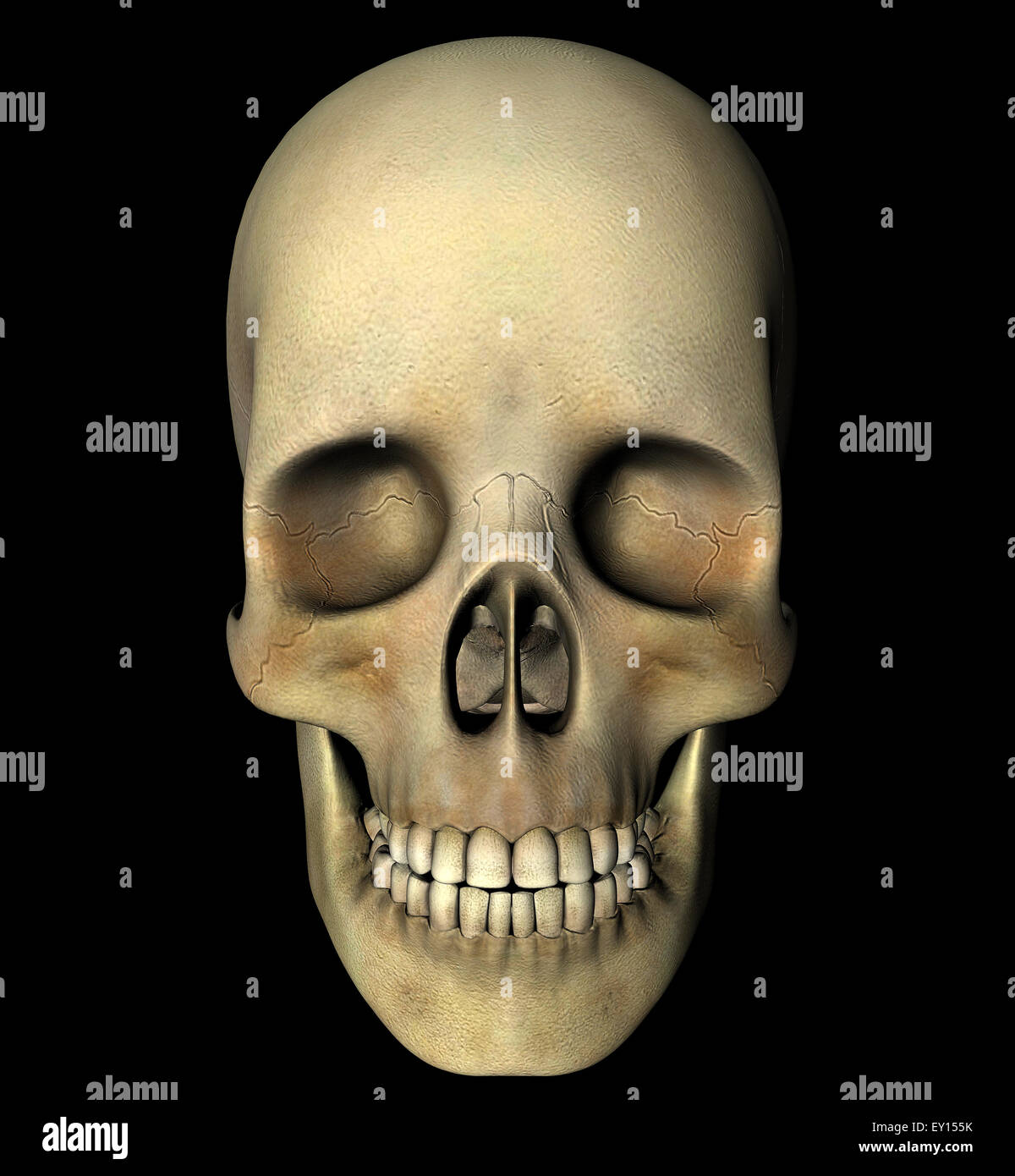 Human Skull Front View Digital Stock Photos Human Skull Front View